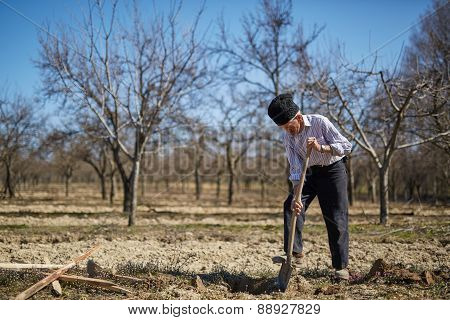 Senior Man Planting A Plum Tree