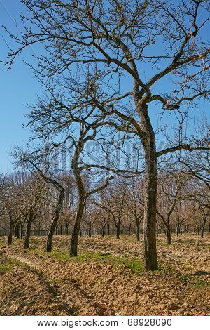 Very Tall Plum Trees In An Orchard