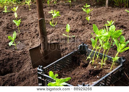 seedlings in the garden