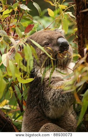 Koala in a gum tree eating fresh green leaves