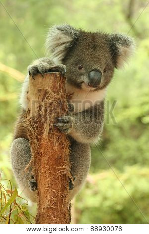 Koala on a tree stump holding look out