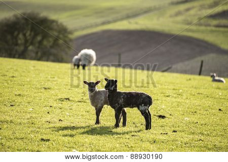 Beauitful Landscape Image Of Newborn Spring Lambs And Sheep In Fields During Late Evening Light