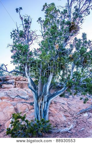 An Ancient Gnarled Juniper Tree Near Navajo Monument Park  Utah