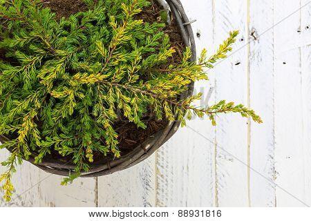 Golden Juniper Ground Cover Plant In Wicker Basket White Background