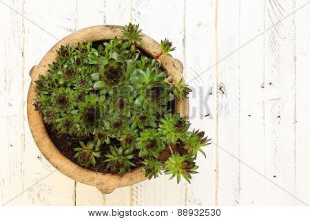 Succulent Sempervivum Calcareum In Ceramic Plant Pot