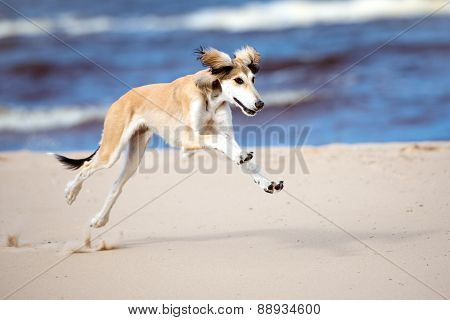 adorable saluki puppy