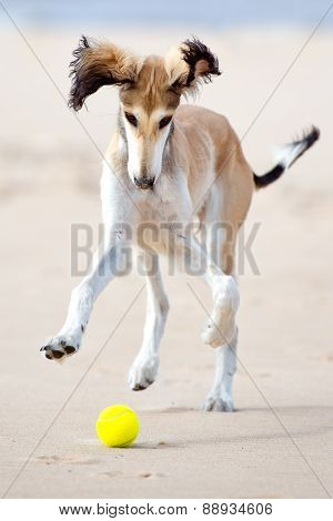 adorable saluki puppy
