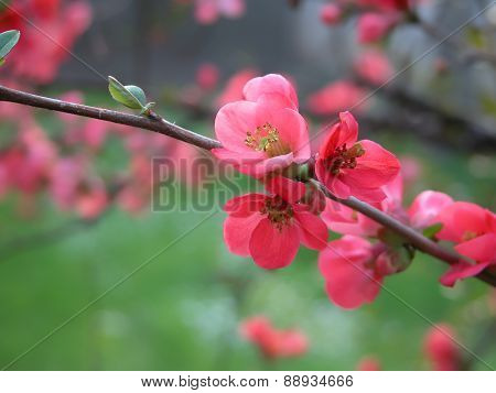 Spring blossoms in the wind-selective focus
