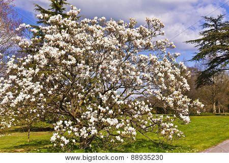 Large pink magnolia tree.