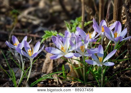 Crocuses Are Blooming And The Garden Wakes Up