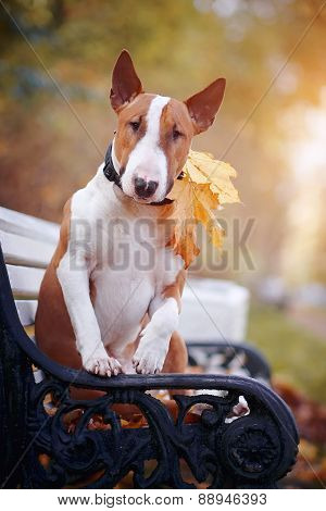 Red English Bull Terrier On A Bench