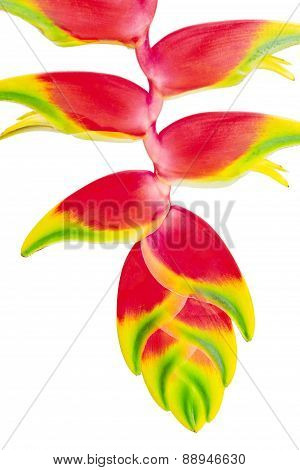 Tropical Flower Heliconia, Isolated On White, Close Up