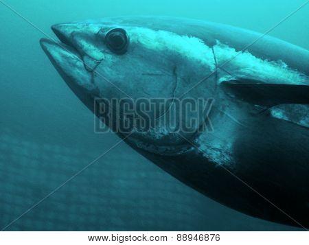 Blue-fin Tuna