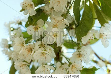 Blossoming Fruit Tree Cherry