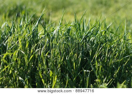 High Green Grass
