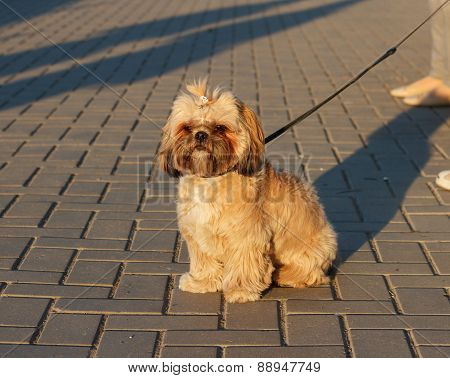 Yorkshire Terrier On Walk Outdoor