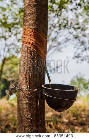 Thailand rubber tree