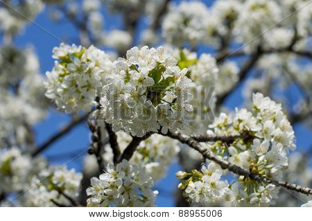 the blossoming branches of a fruit tree, spring blossoming time