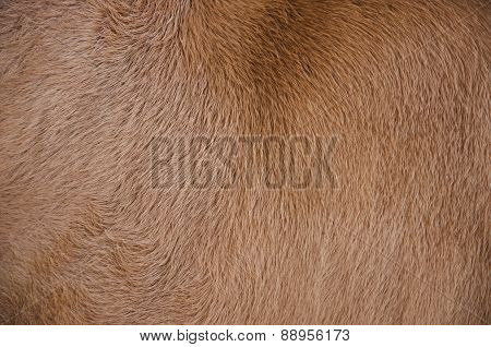 brown cow skin and hair texture