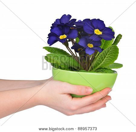 Hand holding Primrose in pot