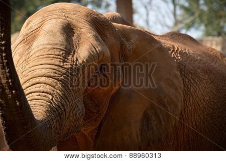 African Elephant Raise The Trunk.
