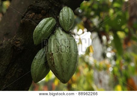Cacao Tree (Theobroma cacao) in the Bogor Botanical Gardens, West Java, Indonesia.