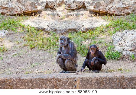 Couple Of Chimpanzees