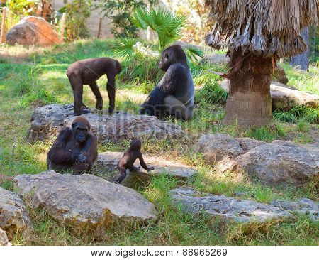 Family Life Of Gorillas