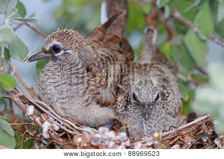 A bird nest of baby Zebra Doves on a Neon Tree