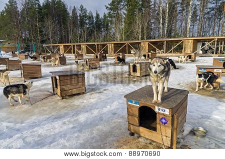 Sled Dogs Farm In Karelia, Russia.
