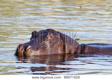 Portrait Of Hippo Hippopotamus Hippopotamus