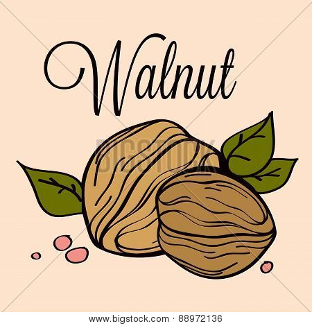 Hand Drawn Vector Walnut_02
