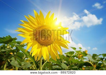 beautiful sunset over sunflowers field
