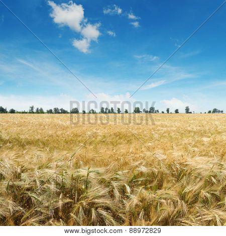 ripe wheat on a field