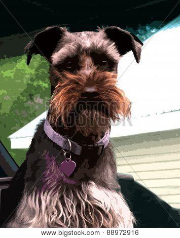 abstract close-up Schnauzer dog
