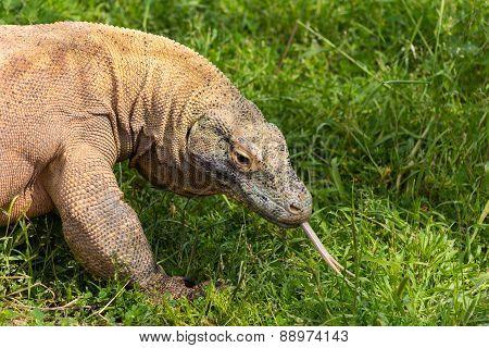 Komodo dragon in Attica zoo