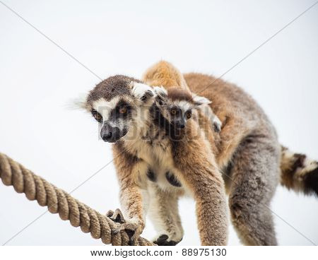 lemur mother with baby on it back