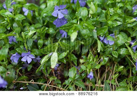 Small Blue Flowers In Spring Green Grass