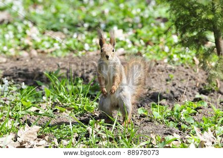 Squirrel - a rodent of the squirrel family. The only representative of the kind of protein in the fa