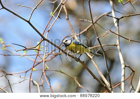 The Eurasian blue tit (Cyanistes caeruleus or Parus caeruleus) is a small passerine bird in the tit