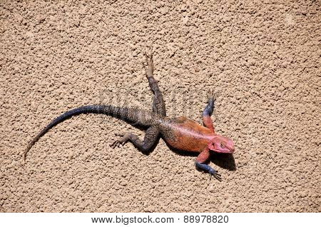 Male Red-headed Rock Agama, Tanzania