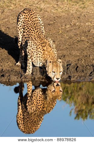 Cheetah Drinking Water with Reflection