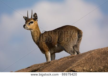 Klipspringer on a Rock