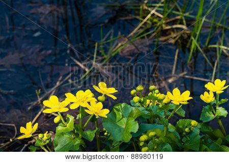 Yellow Flowering Marsh-marigold On The Waterfront From Close