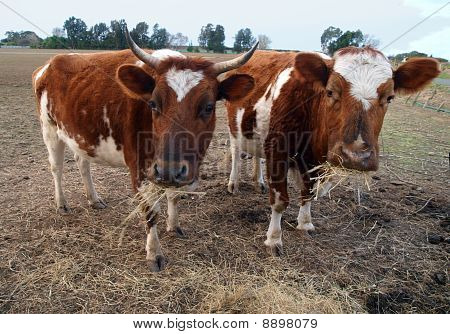 Two Ayrshire Cows Eating Hay