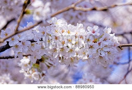 Branches of blooming apple tree with many flowers over blue sky, seoul in south korea