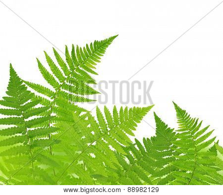 Fern isolated on white background