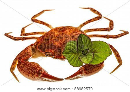 Cooked Crab, Isolated On White Background