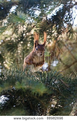 squirrel in a pine