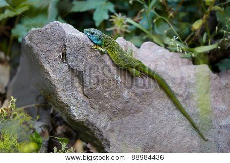European Green Lizzard on a stone
